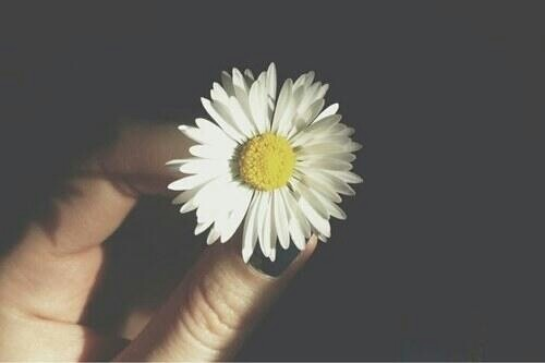 chamomile, cute, daisy and flower