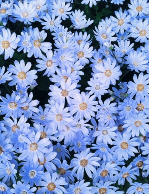 Daisy Background Image 2195270 By Lauralai On Favim Com