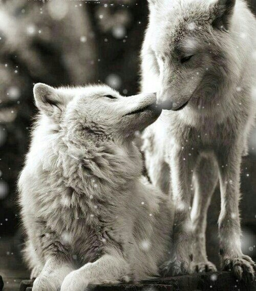 White Wolf And Black Wolf In Love Wild White Wolves - im...