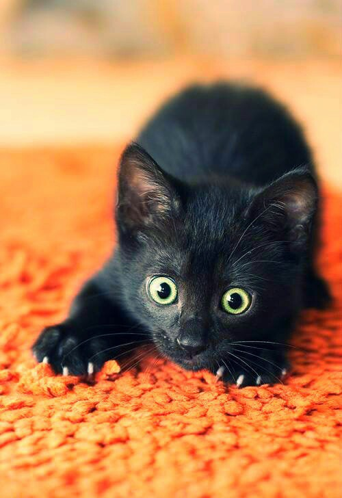 Black Kitten Image 2210020 By Saaabrina On Favim Com