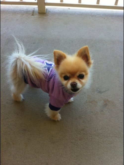 adorable, amazing, awesome, cute, dog, fluffy, pomeranian, puppy
