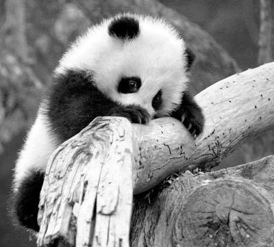 adorable, amazing, black and white, cute, little, love, panda, run, running, smile, speed