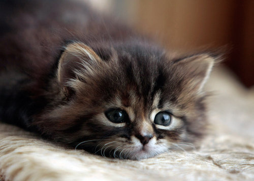 adorable, animal, bed, cat, cute, ears, eyes, fluffy, fur, kitty, mouth, nose, pretty, sweet, whiskers