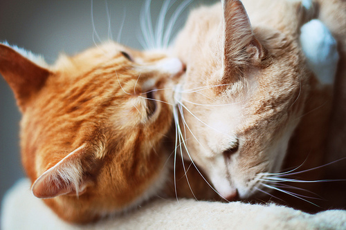 adorable, animals, cats, cute, orange, pets, white