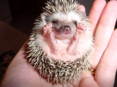 adorable, baby, cute, hedgehog, little