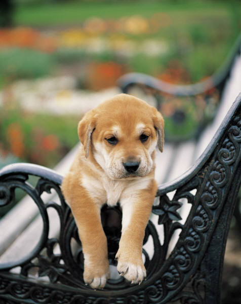 adorable, bench, cute, puppy