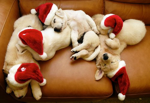 adorable, christmas, cute, dogs, fluffy