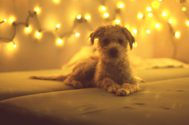 animal, bed, cute, dog, light