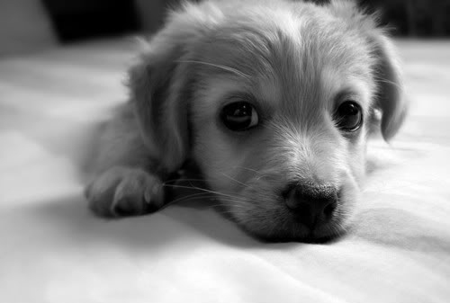 animal, black and white, cute, dog, puppy