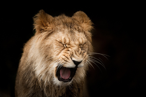 animal, cat, cute, feline, lion, nature, safari, scream, wild