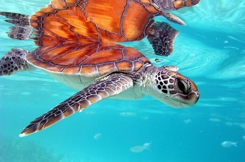 animal, cute, ocean, turtle, water