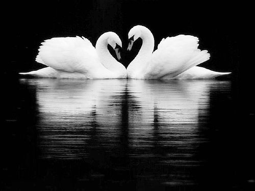 animals, black and white, couple, cute, liebe, love, photography, swan, swans, treue, water