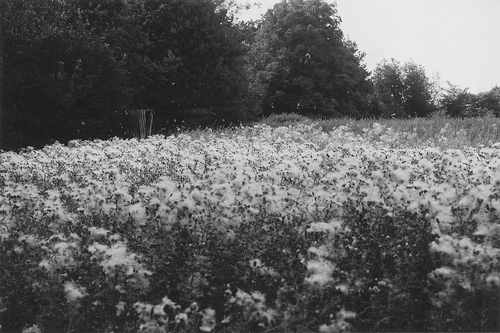 b&w, black & white, black and white, cute, field, flower, flowers, garden, landscape, nature, place