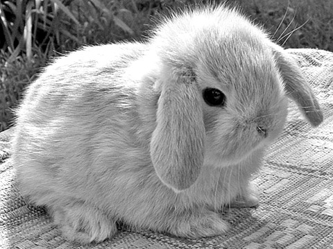 b&,w, black and white, bunny, cute, habbit - image #314494 ...