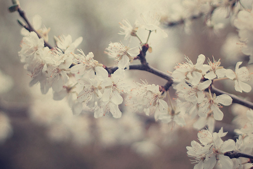 blossoms, cherry, flowers, spring, tree, white