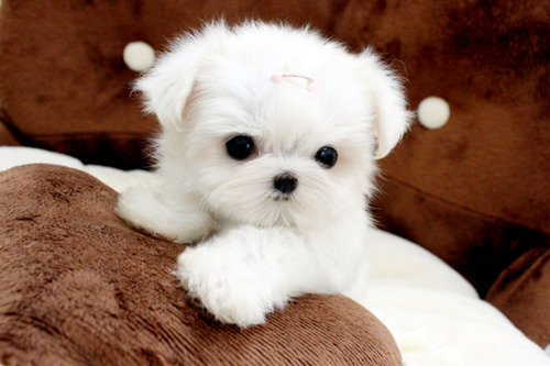 cute, puppy, white