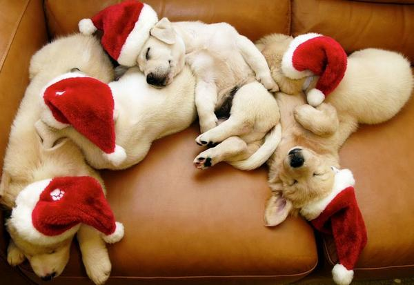 adorable, christmas, cute, holidays, puppies, santa