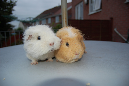 animal, animals, cool, cute, guinea pigs