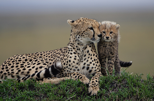 Baby Cheetah Images Stock Photos amp Vectors  Shutterstock