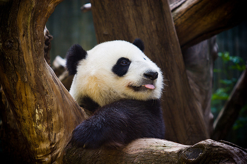 animal, bear, beautiful, cute, panda