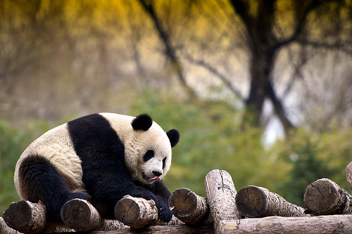 animal, bear, cute, giant panda, panda