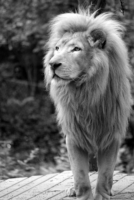 animal, beautiful, black and white, cute, lion