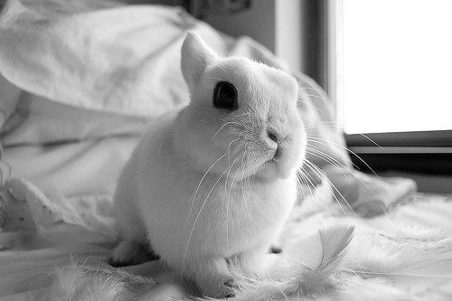 animal, black and white, cute, feather, rabbit