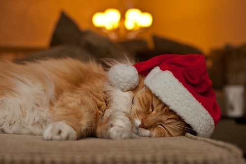 animal, cat, christmas, cute, hat, red, santa, sleep, sleeping