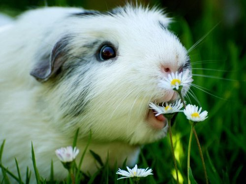animal, cute, daisy, flower, guinea pig, nature, nom