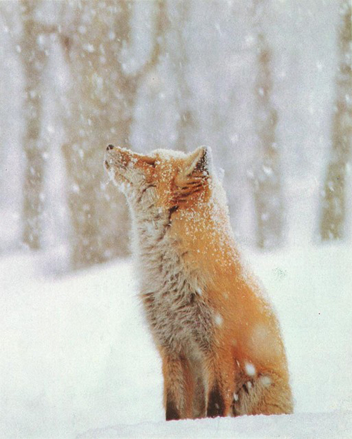 animal, fox, nature, photography, snow
