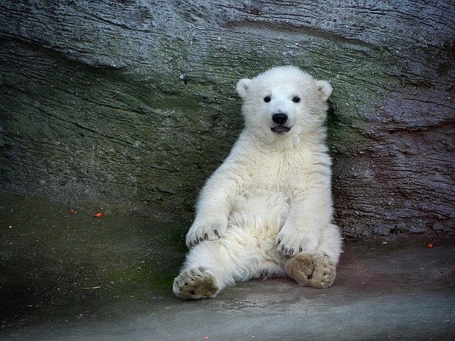 animals, bear, nature, polar, polar bear
