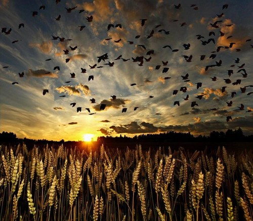 barley, birds, dawn, field, nature, shadows, sky, wheat