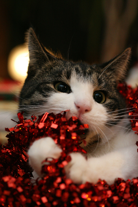 beautiful, cats, christmas, cutest, flowers