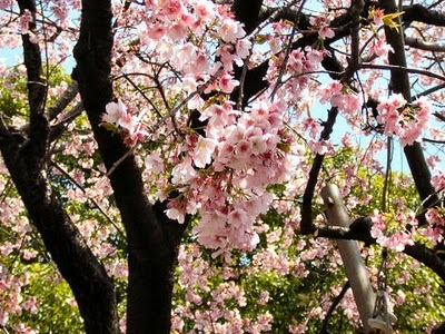 beautiful, follow me, gorgeous, jap cherry blossom, japanese cherry blossom