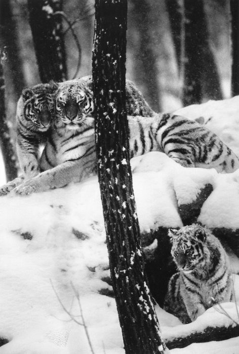 black and white, cute, snow, tiger, tigers