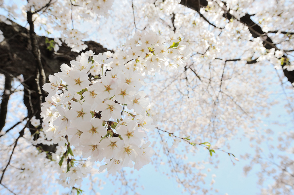 blossoms, branches, cherry blossoms, flowers, nature