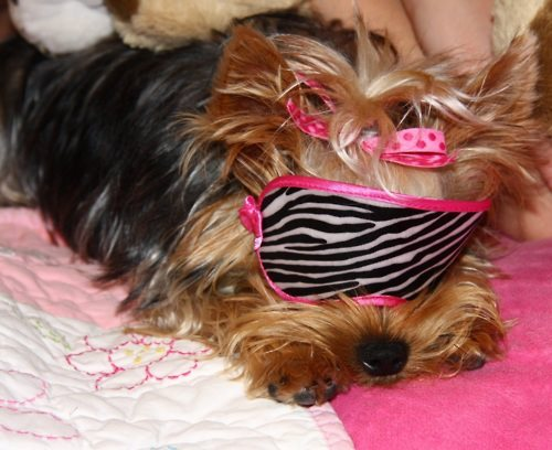 cachorro, cute, dog, fashion, mascara para dormir, pink, sleeping mask, yorkshire, zebra