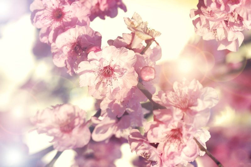 cerise, cerisier, cherry blossom, fleur, flowers