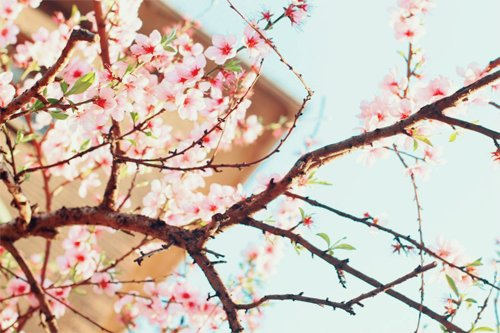 cherry blossoms, floral, flower, japan, japanese, nature, photography, sakura