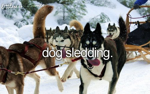 christmas, dog, dog sledding, husky, husky dog