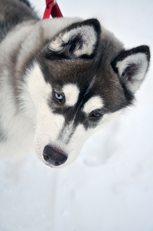 dog, eyes, husky, siberian husky, snow