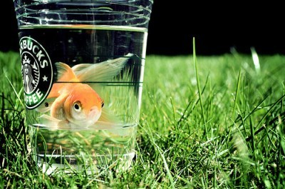 fish, goldfish, starbucks, water