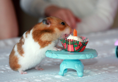 adorable, birthday, cake, cute, hamster