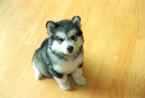 adorable, black and white, dogs, eyes, huskie, nose, puppy, sweet