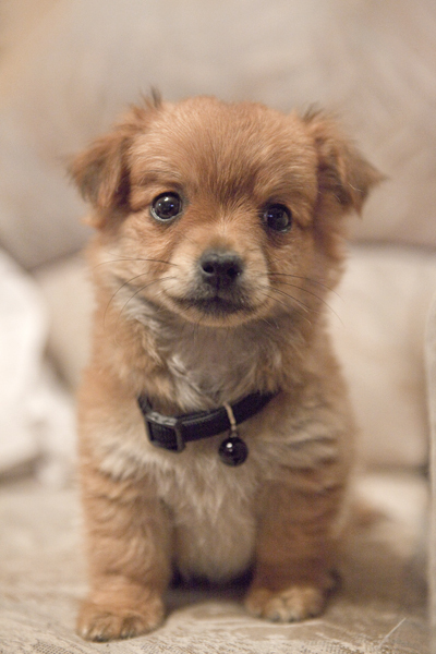 adorable, brown, cute, dog, eyes, girl, pretty, puppy, sweet