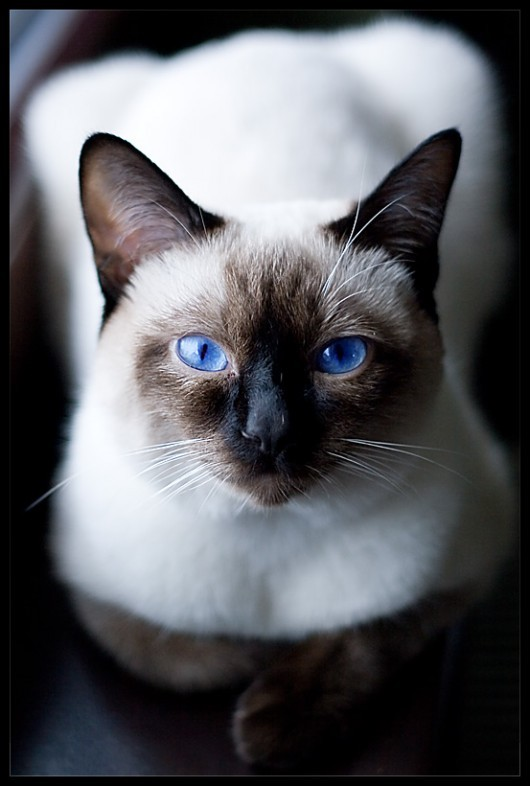 animal, animals, beautiful, blue, blue eyes