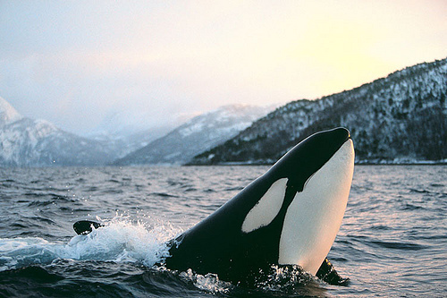 animal, beautiful, landscape, nature, ocean, orcas, photography, sea