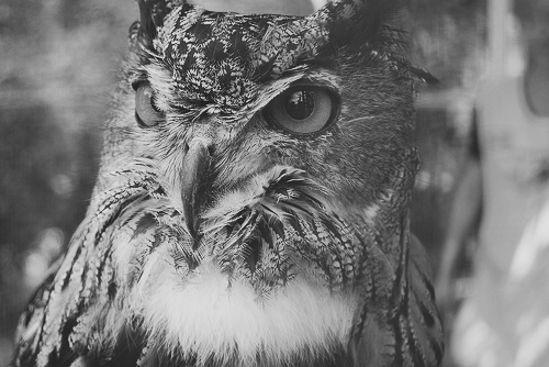 animal, black and white, owl, takbokke