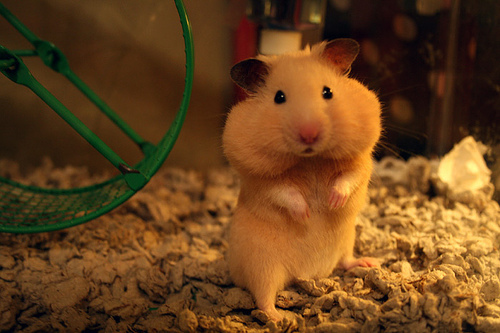 animal, cute, hamster, pet, quality