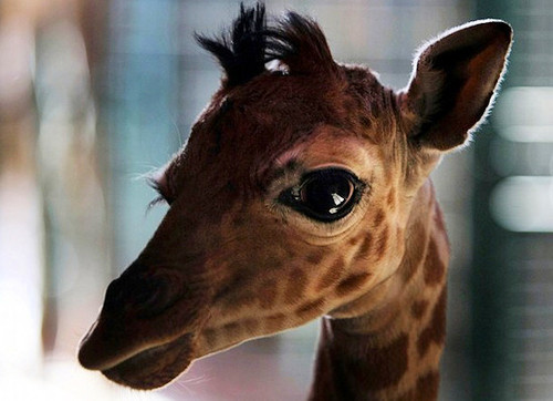 animals, baby, giraffe